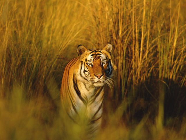 The Bengal tiger has the largest population of all the tiger breeds at approximatley 2,500 individuals in the wild. Most of these tigers inhabit Bangladesh and India. These tigers are smaller than the Siberian tiger. They weigh up to 550 lbs. Like the Siberian tiger, the Bengal is also victim to human conflict and habitat loss which is why they also remain on the endangered species list.