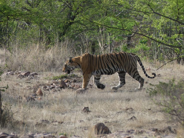 Explore the glorious wildlife of India. Travel with me to Ranthambore NP. Reach out, of you have any queries