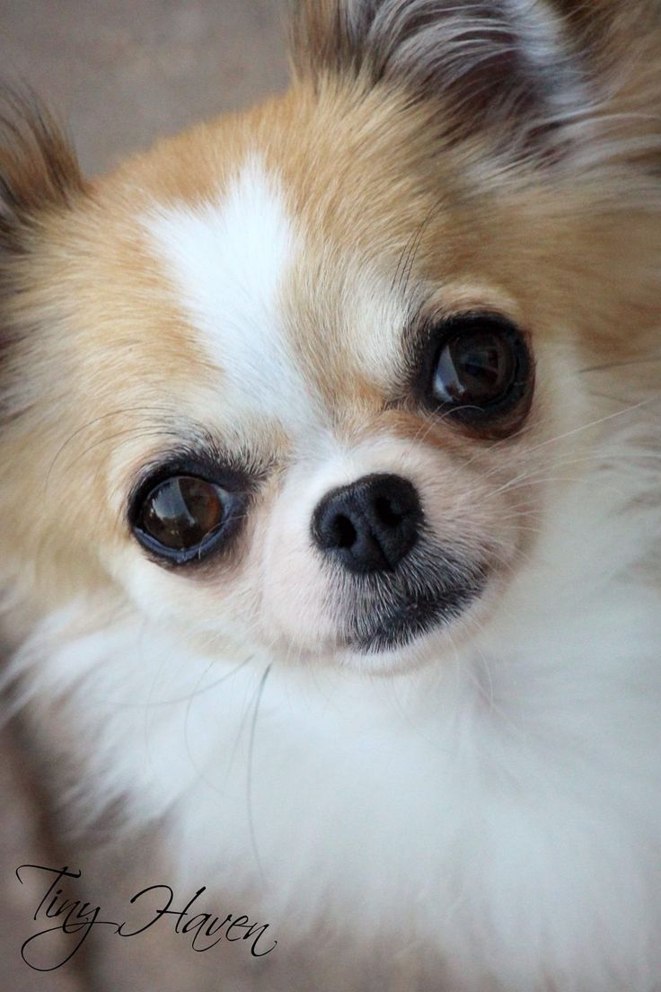 2091 best chihuahua images on Pinterest   Doggies, Chihuahua puppies ...