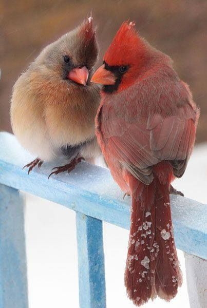 A beautiful cardinal couple, feathers fluffed, always near each other....they mate for life!