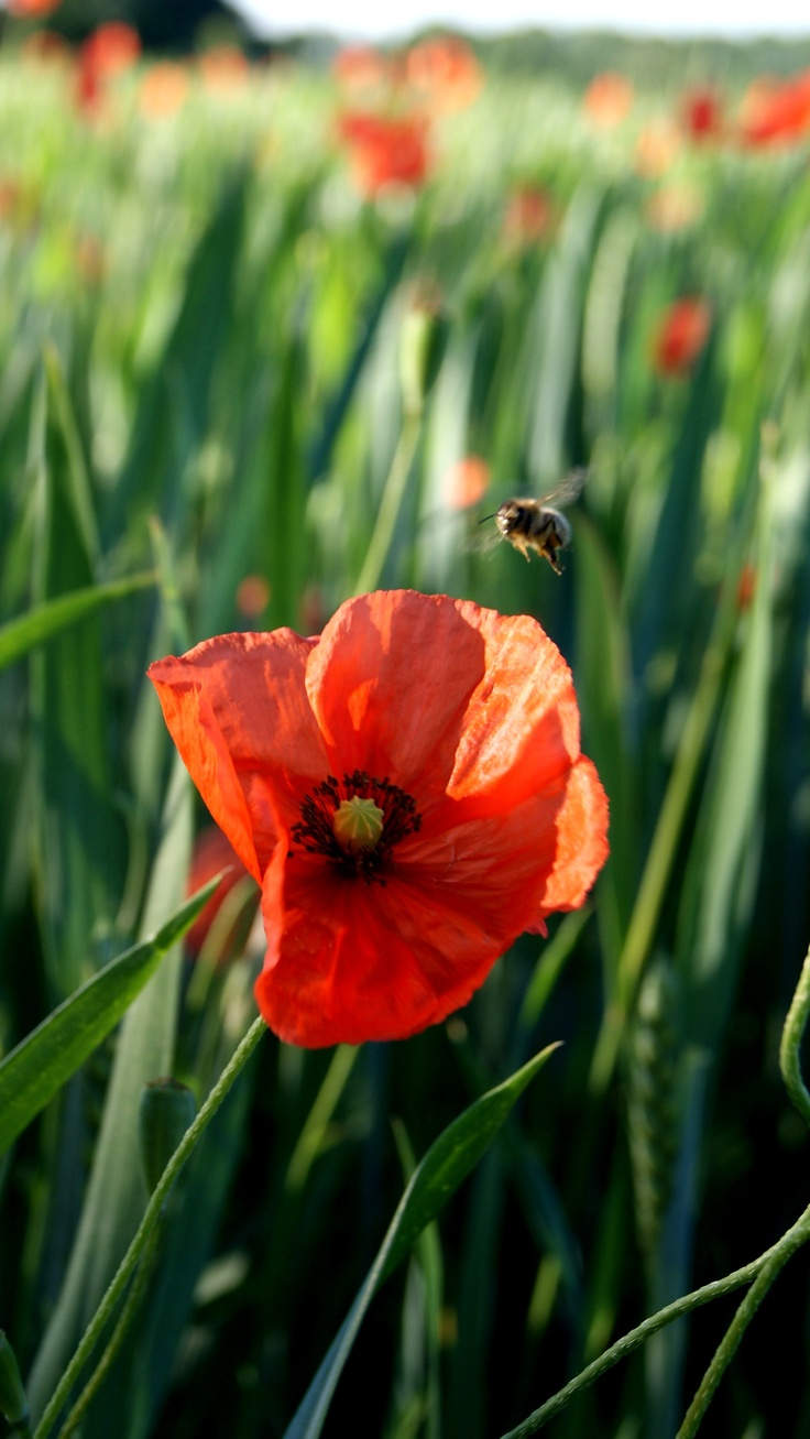 387 best poppies images on pinterest nature plants and poppies poppies in the field mightylinksfo