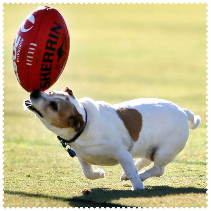 Jack Russell made a cameo appearance at Essendon's Australia Post AFL Community Camp in Seymour, 3660.  #AustraliaConnected, #Australia, #Seymour, #AFLcommunitycamp, #JRT, #DontheSash.