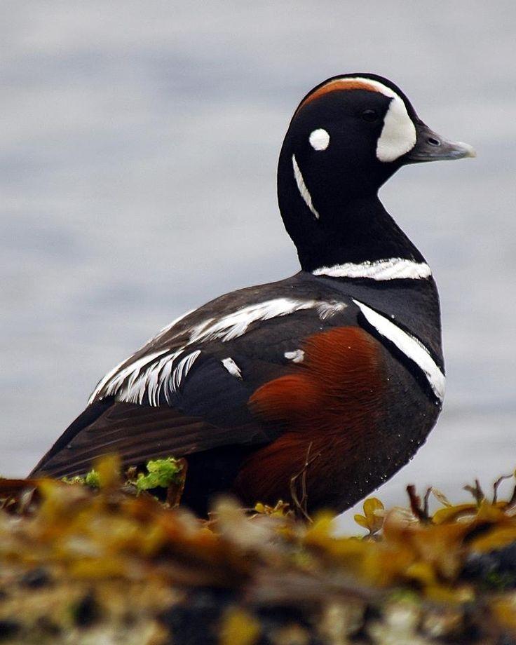 53 best Harlequin images on Pinterest | Ducks, Birds and ... - photo#25