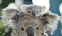 Billabong Koala Wildlife Park - Australias world Renowned Koala Breeding Center