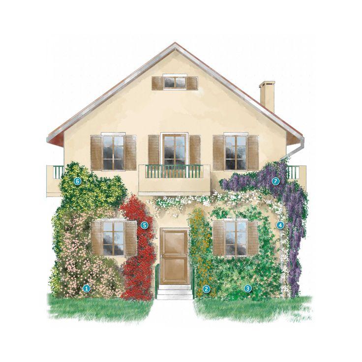 Rinnovare la facciata della casa con le piante rampicanti - Piante fiorite ...