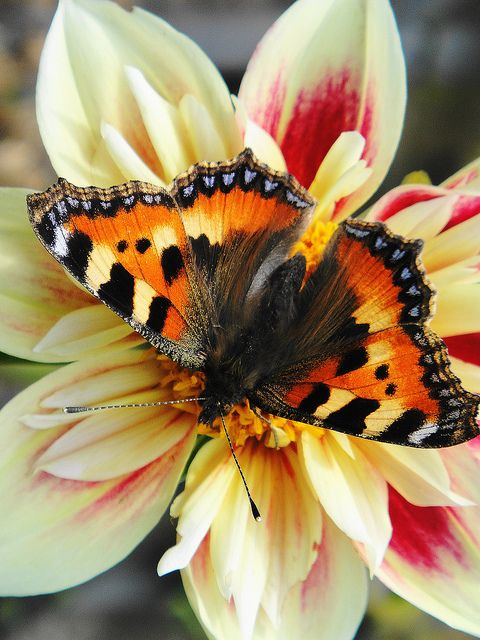 Tortioseshell Butterfly