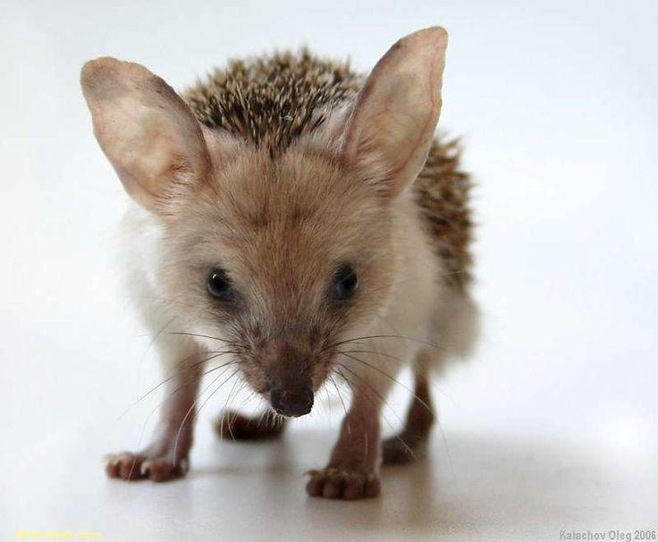 Long Eared Hedgehogs So Cute!