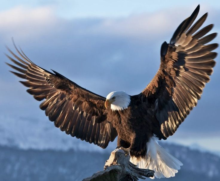 Bald Eagle by Keren Su from Getty Images