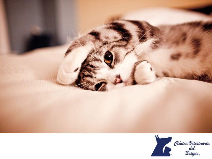 LA MEJOR VETERINARIA DE MÉXICO. ¿Es malo dormir con tu gato?  Si eres una persona que sufre de alergias frecuentes, asma o problemas respiratorios, los pelos que el animal deja en tu cama, pueden resultar muy nocivos para ti, pero existen alergólogos que pueden ayudar a curar este problema y ayudarte a convivir con tu gatito. En Clínica Veterinaria del Bosque, contamos con especialistas para el cuidado de tu mascota.  #veterinaria