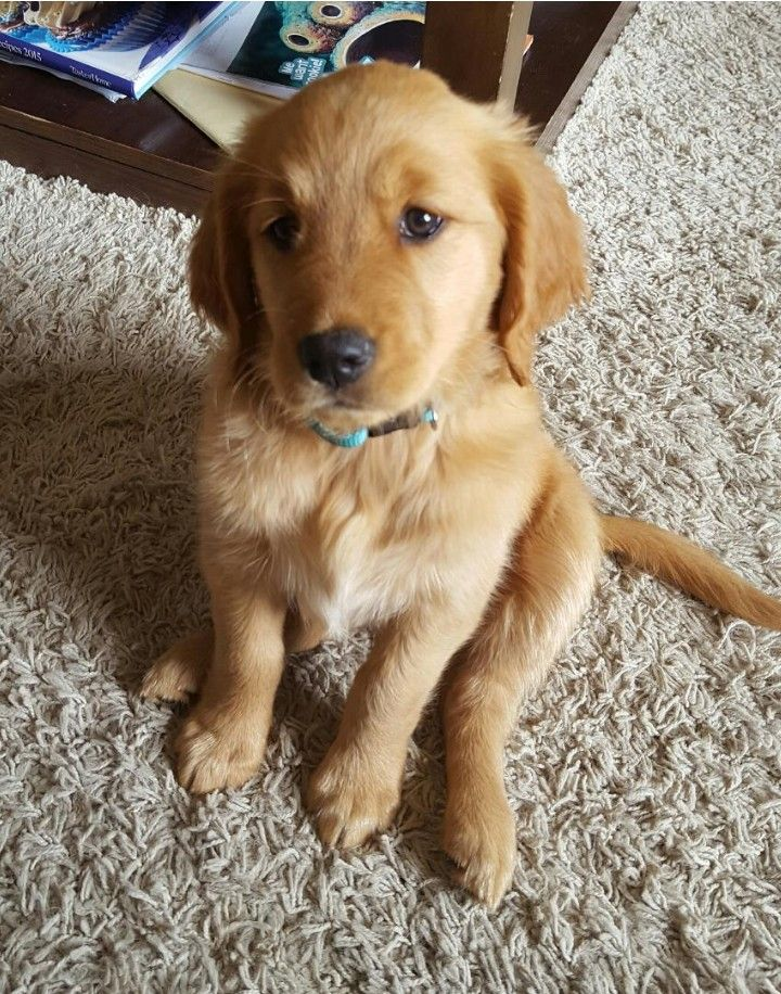 Golden Retriever Puppy Ember Golden Retriever Retriever