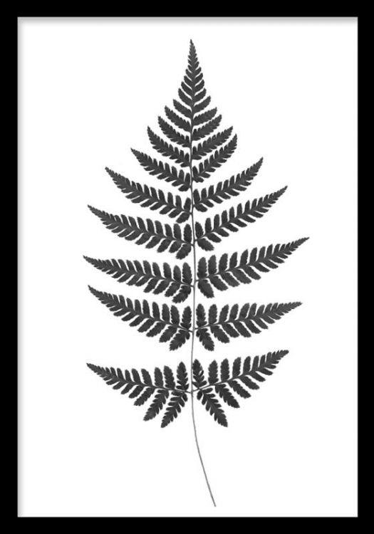 Botanisk tavla med svart ormbunke på vit bakgrund. Stilren och snygg poster / print med botanik. Svartvita affischer och planscher med växter och botanik.