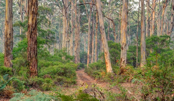 Boranup forest - walk through the karri trees