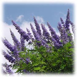 24 Best Images About Vitex Trees On Pinterest Gardens