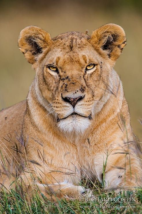 Large female Lion sat staring by Richard Costin on 500px