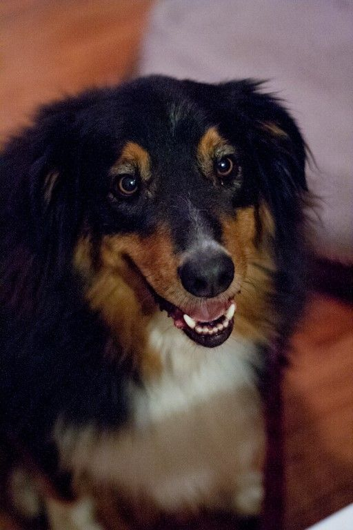 17 Best Images About Rescue Pups Dogs On Pinterest Australian Shepherd Mix Poodles And