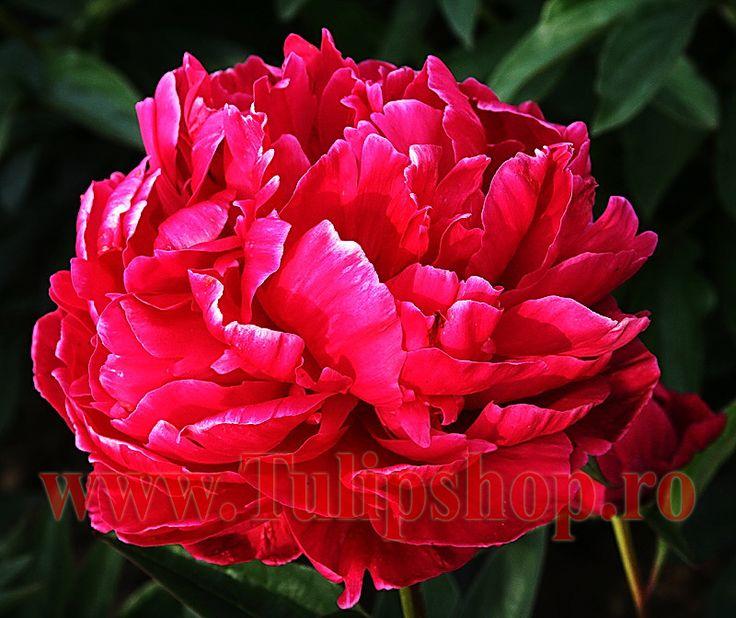 Bulbi Bujor Karl Rosenfield (Paeonia)