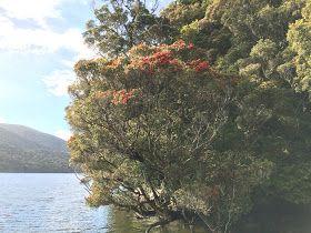 Southern Rata tree on Stewart Island