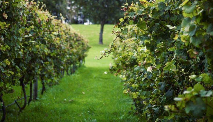 Villa Maria Estate Winery   Sudima Hotels