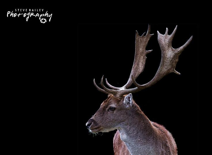 Fallow Deer by SteveBailey