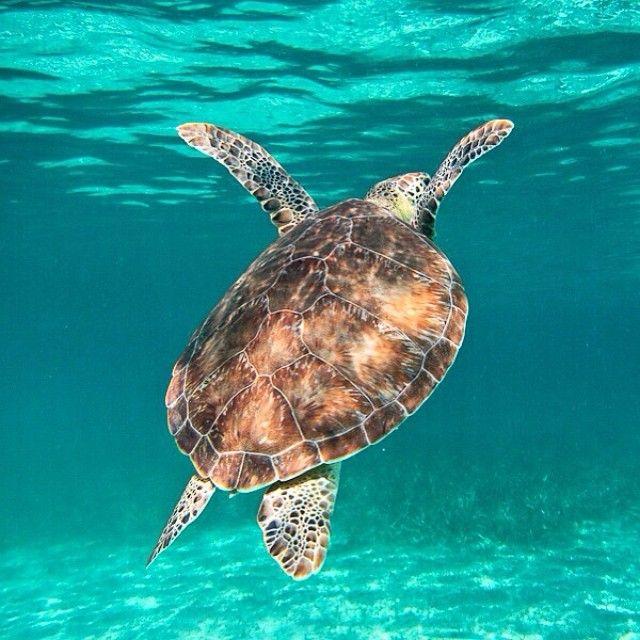 Geen walvishaaien, maar #schildpadden zagen we wel. Tot zover mijn favoriete onderwaterdieren, vooral vanwege hun onverstoorbaarheid. Lees op http://myworldisyours.nl/places/san-pedro het reisverhaal over snorkelen in Hol Chan Marine Reserve en Shark Ray Alley. #turtle