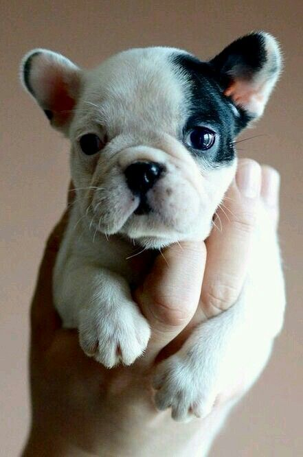 French Bulldog cutie!