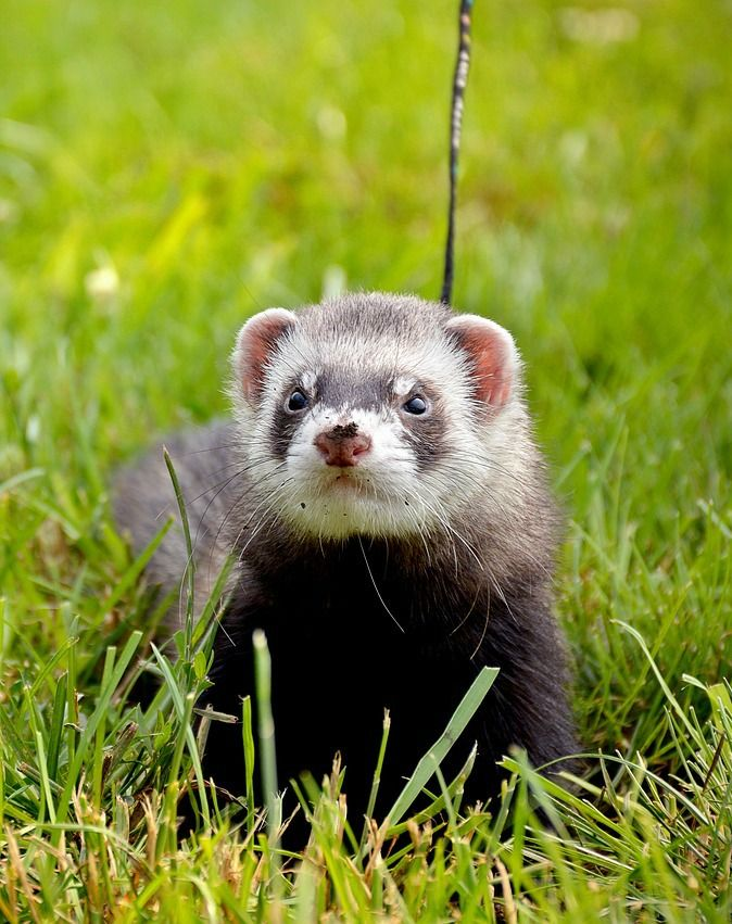 Foods Ferrets Can Eat You May Not Know About Pet Ferret Ferret Pets