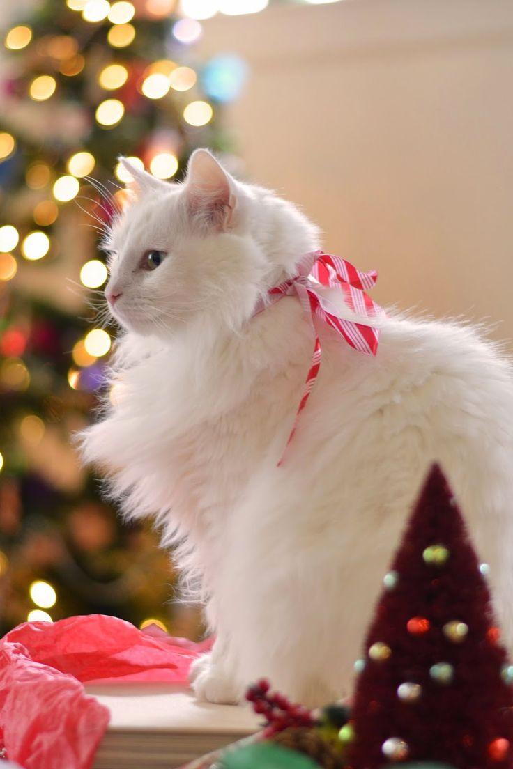 Turkish Angora cat on Christmas