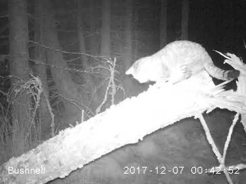Wildtierkamera filmt große Wildkatze in Schottland