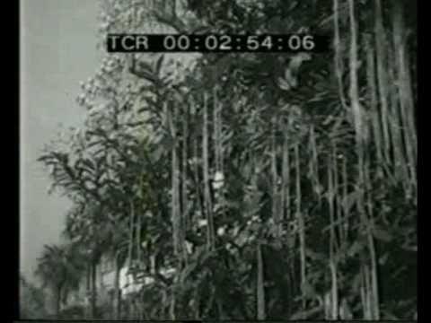 Het effect van nachtvorst op spaghetti. Mooi weergegeven. Geen eten van NL.  Panorama - Spaghetti Harvest -  1st April 1957 - YouTube