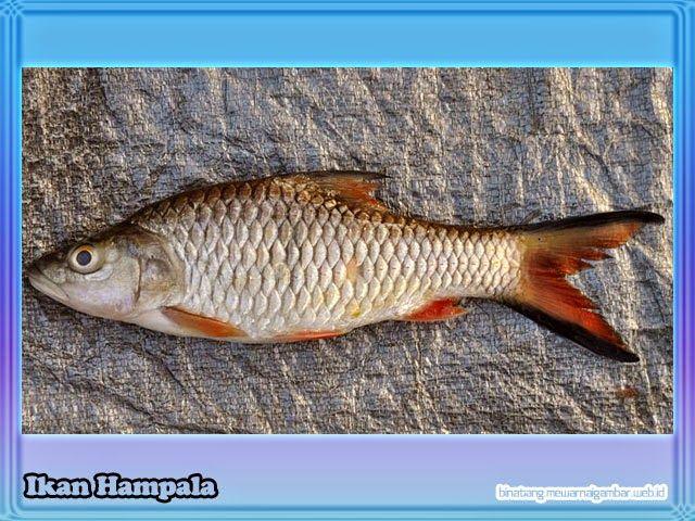 Nama Binatang Dari Huruf H Nama Gambar Binatang Binatang Gambar Ikan