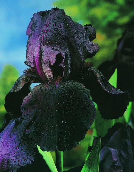 Iris (Bearded Iris) - Before The Storm