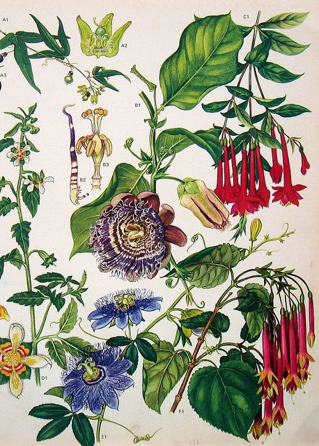 """Vintage Botanical Print 173 [NATURE PUTS CLASHING COLORS TOGETHER, YET THEY DON'T SEEM TO CLASH; AND GREEN IS THE SUPPORTING """"NEUTRAL"""" USED ETERNALLY BY NATURE. EVER THINK ABOUT USING GREEN AS NEUTRAL?]"""