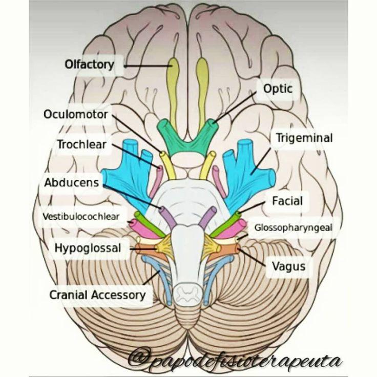 """""""Neuroanatomia:  Os NERVOS CRANIANOS são aqueles que fazem conexão com o encéfalo, sendo numerados de acordo com sua origem aparente, no sentido…"""""""