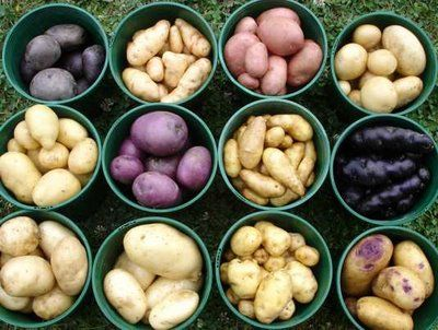 grow potatoes in a barrel or trash can