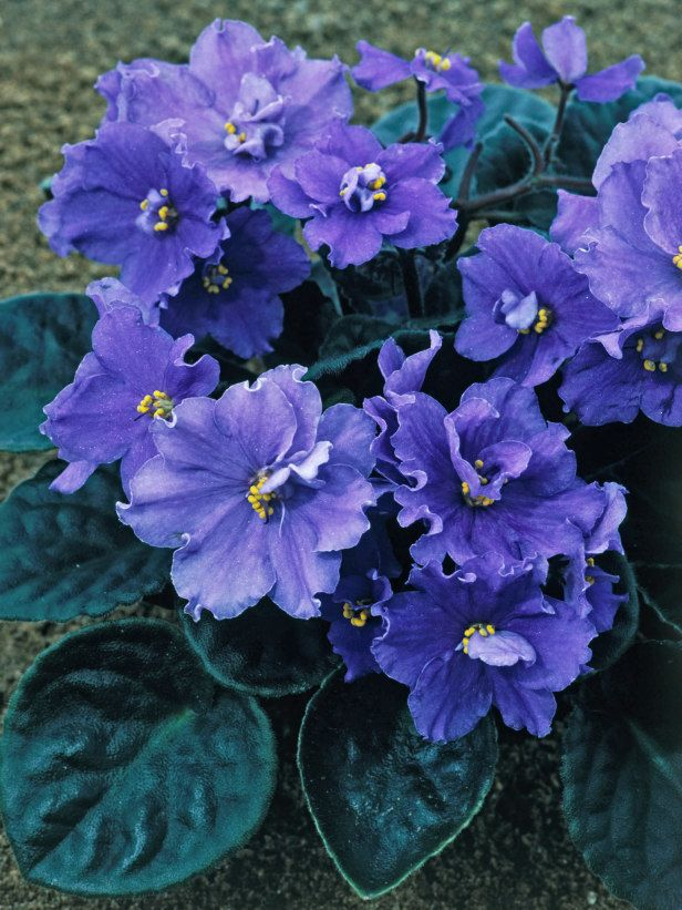 African Violet Plants – How To Grow African Violets