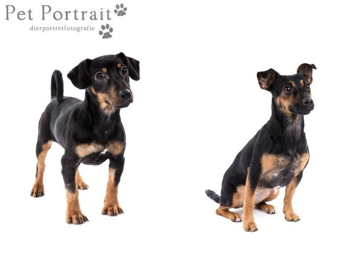 Hondenfotograaf Hillegom - Jack Russell Terriers-6
