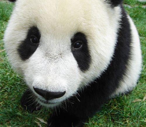Baby Panda Bear by Swamibu, via Flickr
