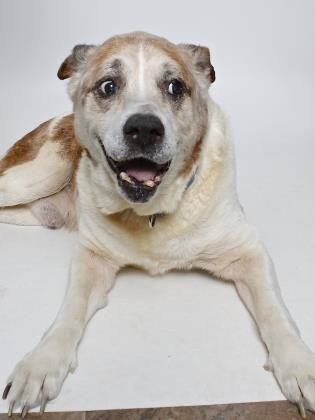 Spot - Mastiff mix - Male - 9 yrs old - Gloucester Mathews Humane Society - Gloucester, VA. - http://www.gmhumanesociety.org/available-dogs.html - https://www.facebook.com/gmhumanesociety/ - http://www.petango.com/Adopt/Dog-Mastiff-30090535 - https://www.petfinder.com/petdetail/33951121