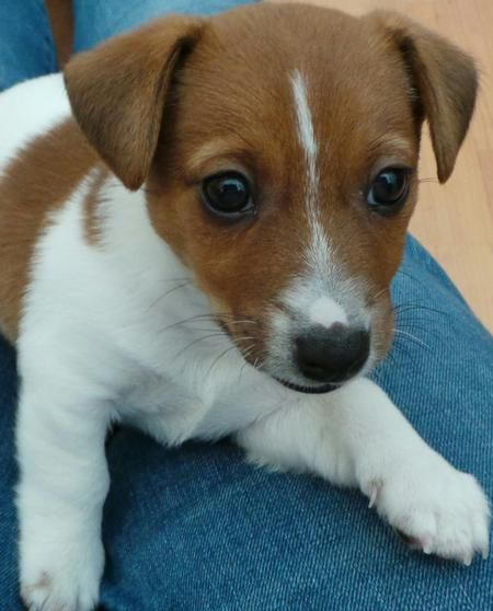 Hunter the Irish Jack Russell puppy - adorable