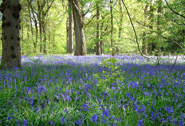 Bluebells in the Forest of Dean in spring