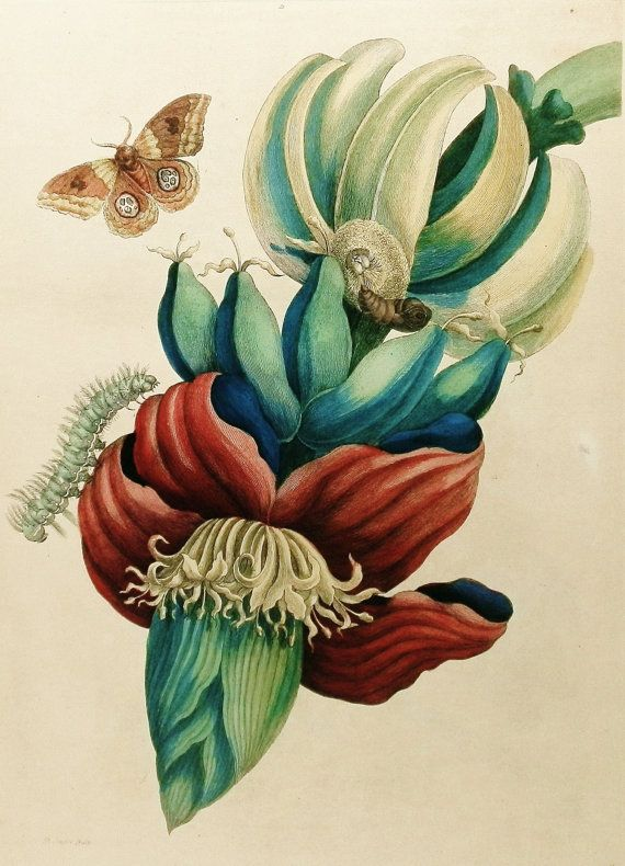 Banana Flower Print, Red Flower Art, Teal Green Wall Decor (18th Century Artist Flower Illustration To Frame No. 2)