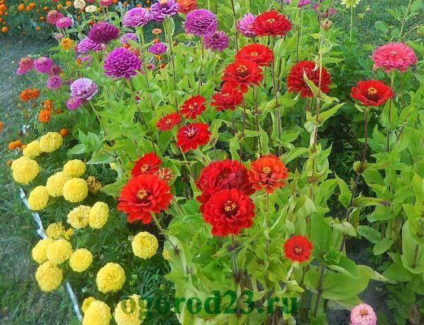 Однолетние цветы, цветущие все лето без рассады - название и фото цинии