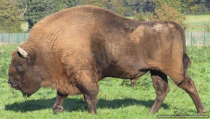 European_Bison