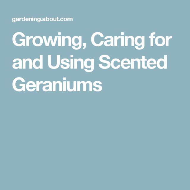 Growing, Caring for and Using Scented Geraniums                                                                                                                                                                                 More