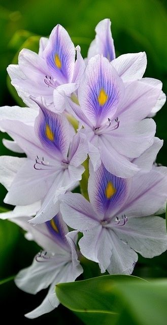 Water Hyacinth. Pretty in this picture but not when they have clogged a waterway in Florida. Did you know that manatee like to eat these?