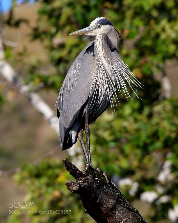 Great Blue on Perch by baseball animals animal pet