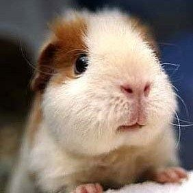 looks like my old guinea pig CHEWY -- awww I miss that lil' nugget <3