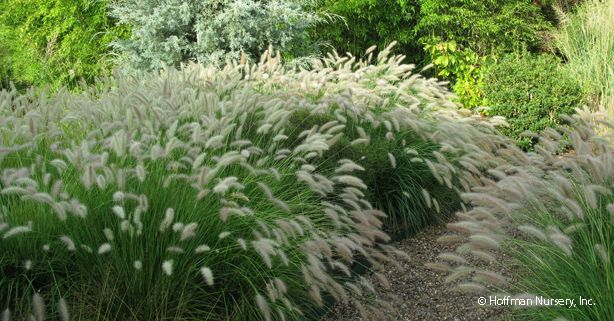 Pennisetum alopecuroides 'Cassian' - Dwarf fountain grass to border-edge the boulder wall & establish a break between the rain garden and the picket fence (back yard sod area).