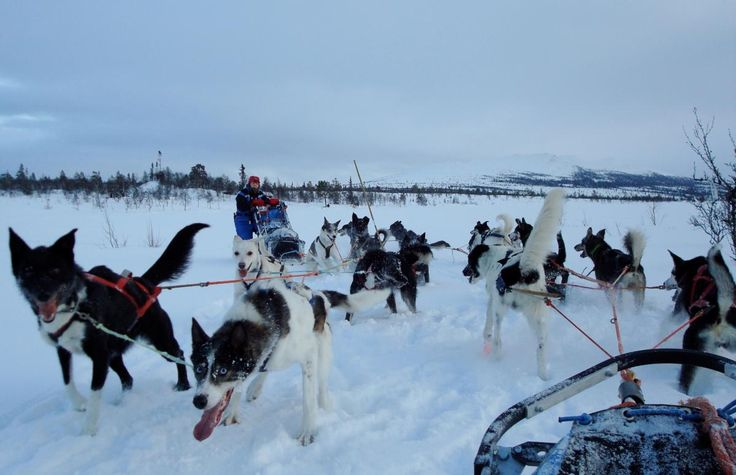 Drive your own sleddog team in the snowy mountains. The tours bring you in…