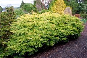 Saybrook Gold Juniper - Juniperus chinensis 'Saybrook Gold' 4' high 6' wide